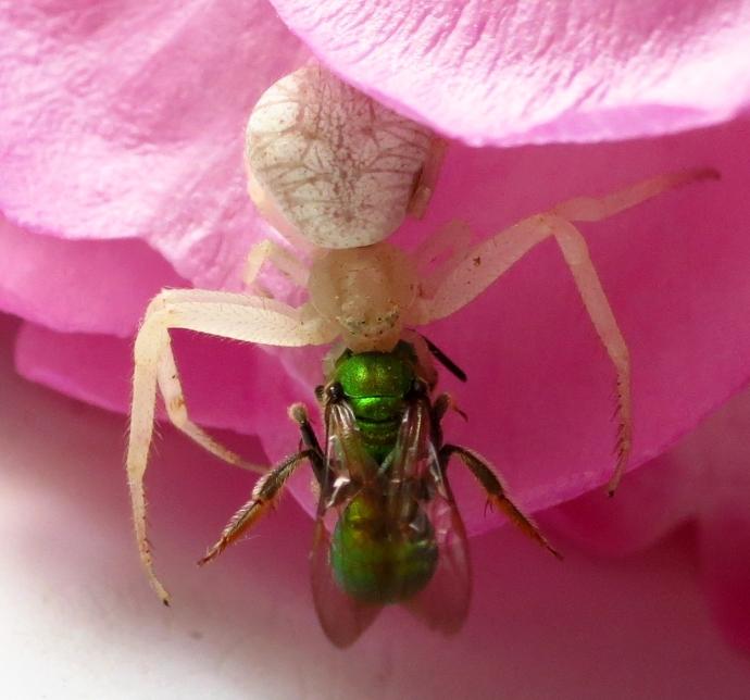 spidernfly