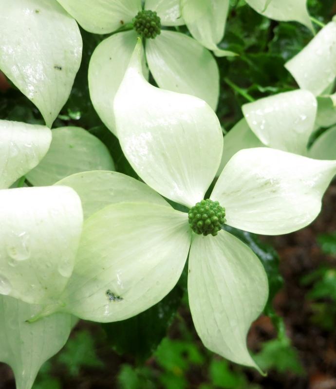 dogwoodflower