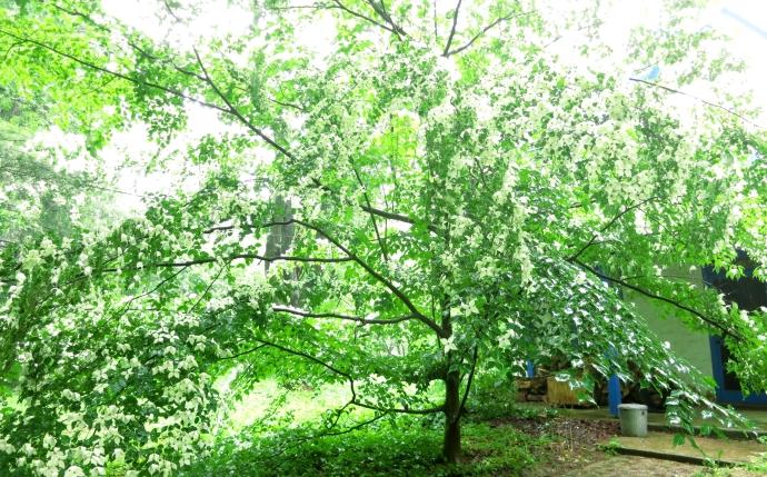 dogwoodtree