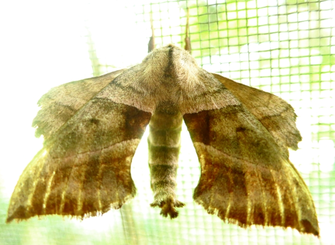 brownmoth