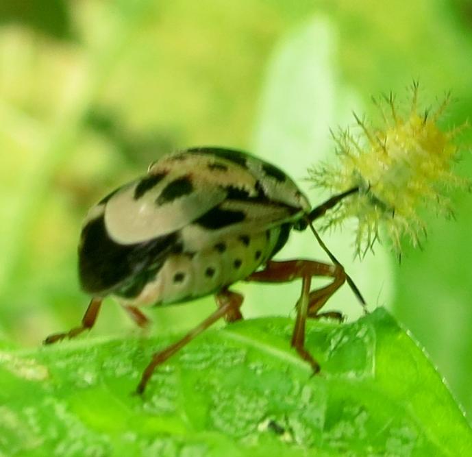 larvaespiked