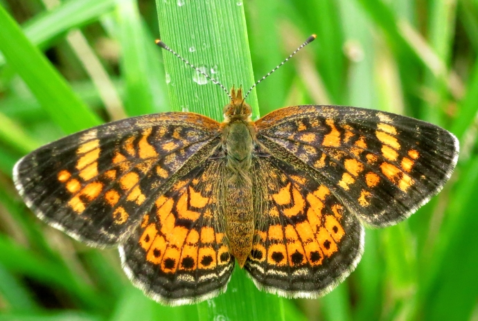 orangemoth
