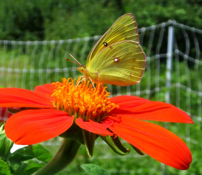 yellowbutterflyms
