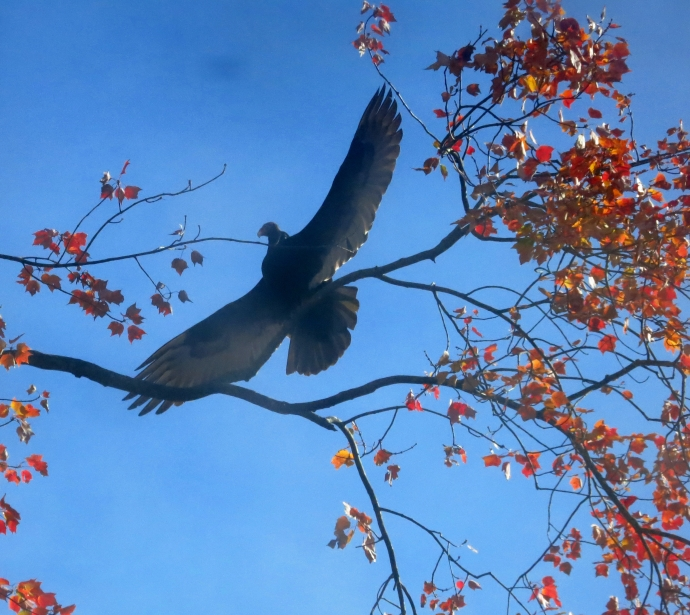 buzzardwings