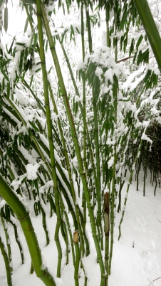 Bamboo stalks in snow