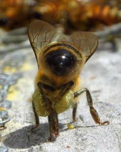 pollenbutt