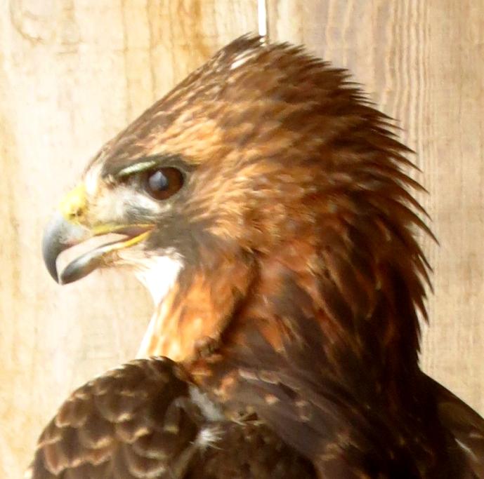 hawkhead